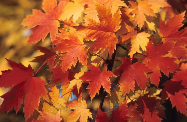 Autumn maple leaves on tree