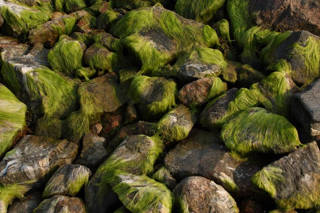Algae on rocks