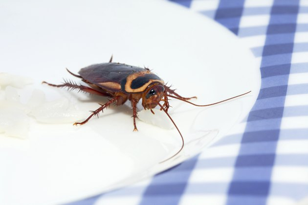 cockroach lunch