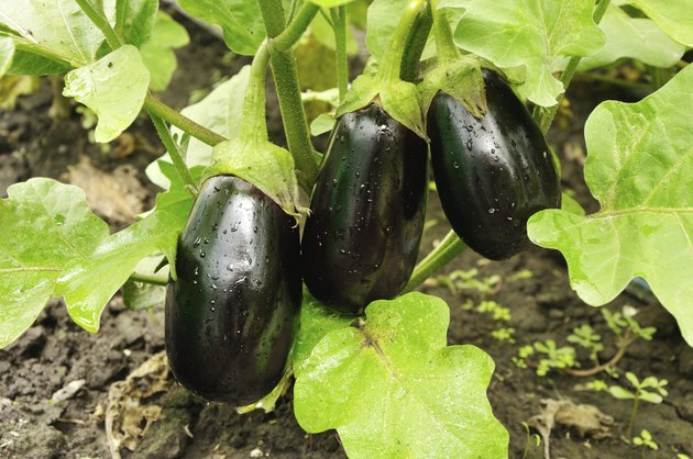 three purple eggplants growing