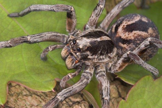 Wolf spider 2