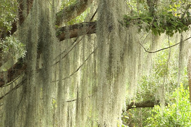 Close-up of spanish moss growing in trees.