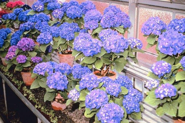 Purple flowers in greenhouse
