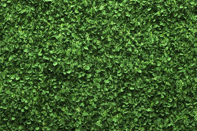 green box hedge background