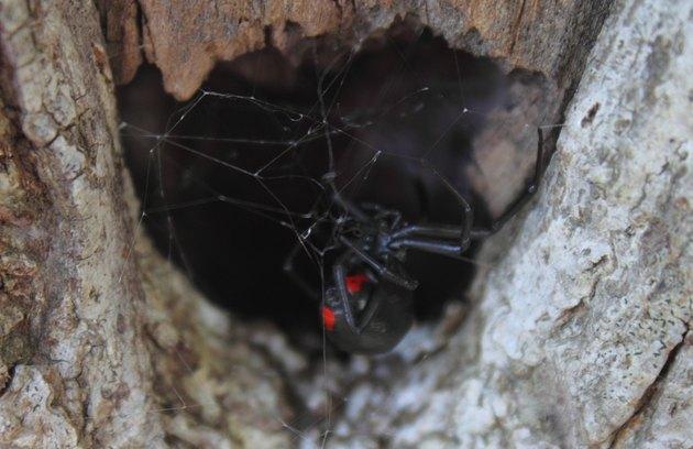 Black Widow Spider in Hiding