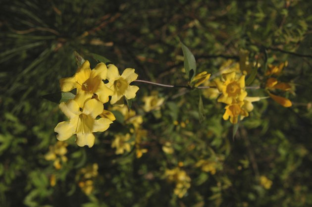 Carolina Jasmine (Gelsemium sempervirens)