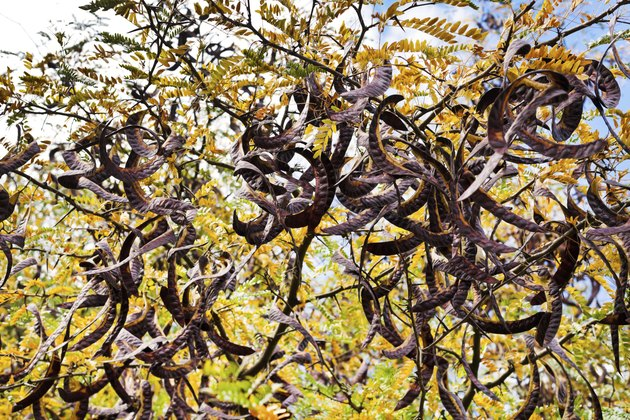 Seed pods on acacia tree close up