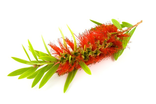 Single Bottlebrush Bloom