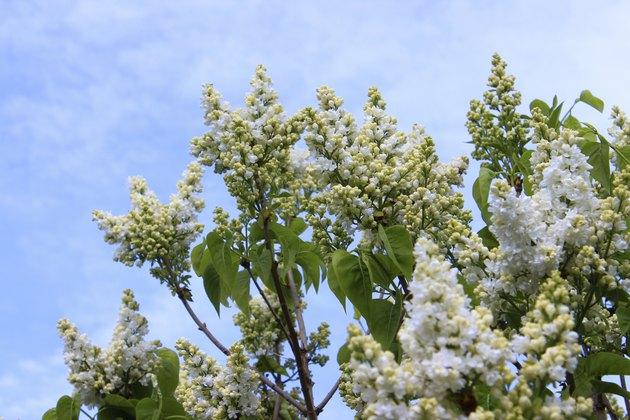 Image of white lilac flowers (Syringa vulgaris) against sky