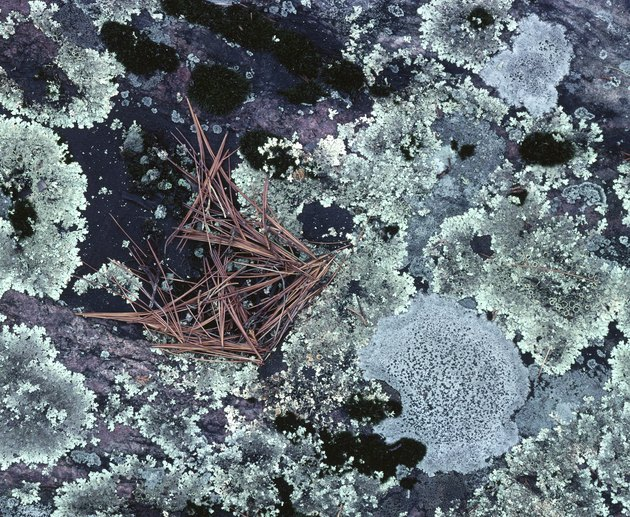 Growth of lichens on rock surface
