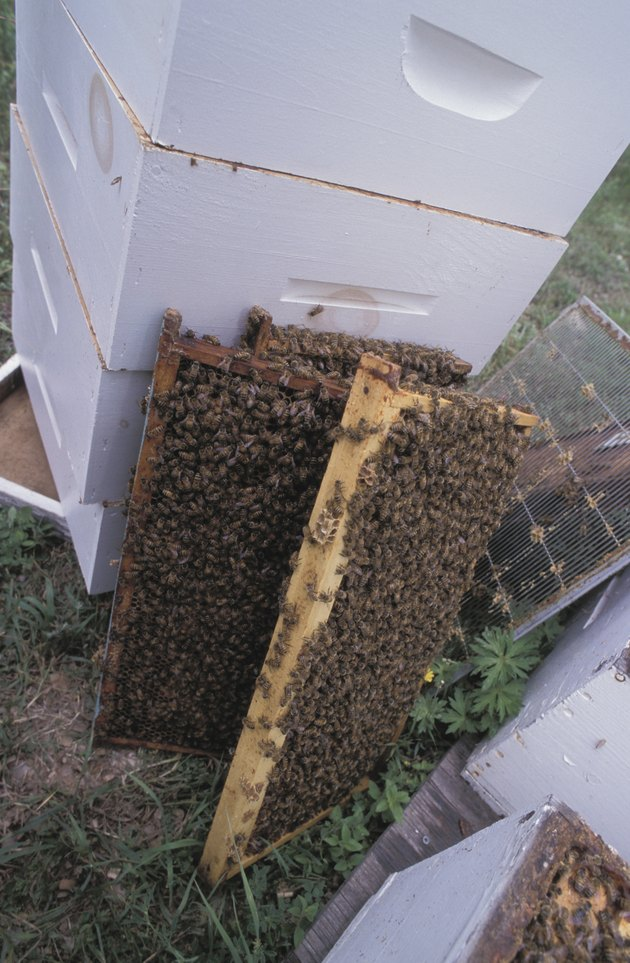 Frames from hive covered with bees
