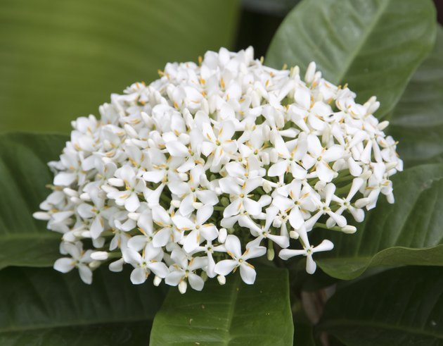 beautiful white ixora flower