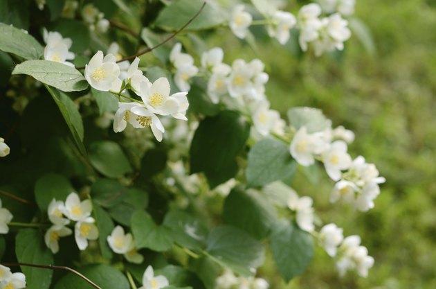Blooming jasmin bush with tender white flowers