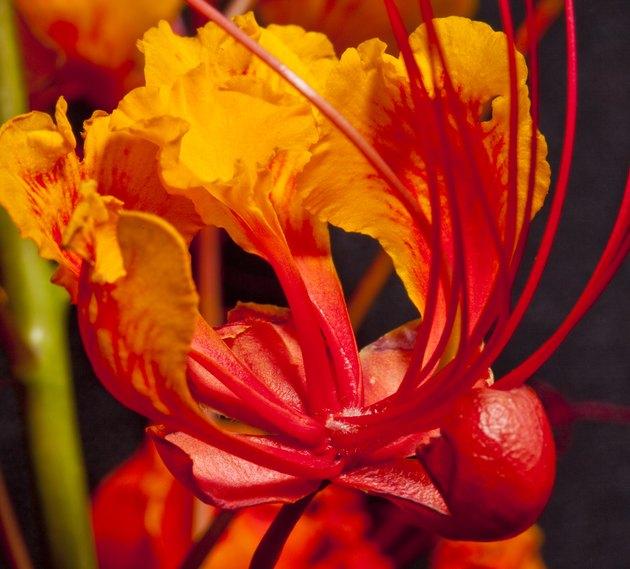 Mexican Bird of Paradise (Caesalpinia pulcherrima) flower