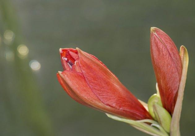 Rote Amaryllisbluete