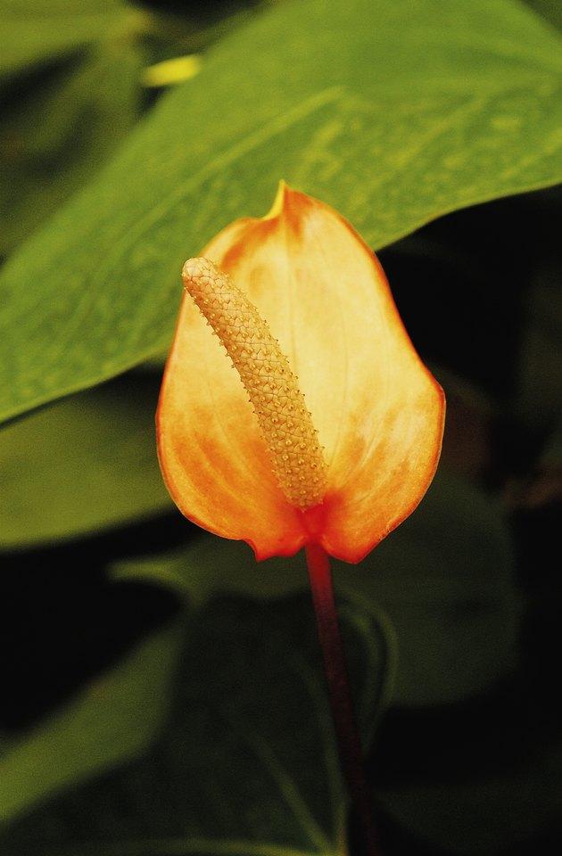 Anthurium, close-up