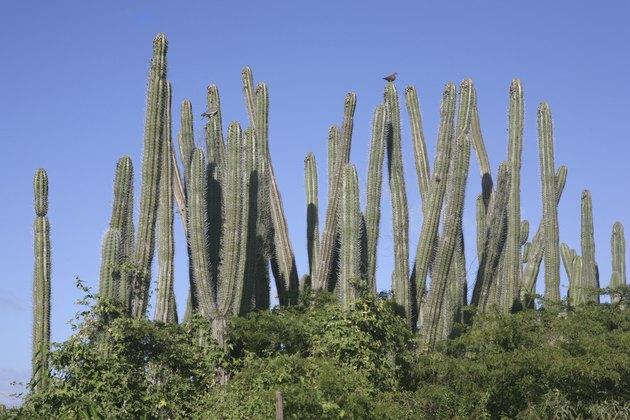 Columnar Cactus in Aruba