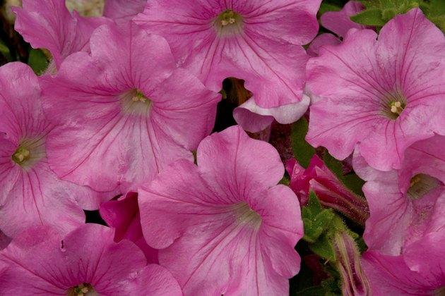 Close-up of petunias