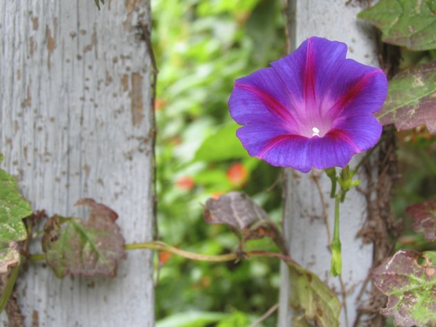 Morning glory by fence