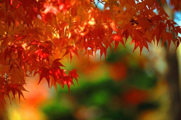Autumn leaves (differential focus)