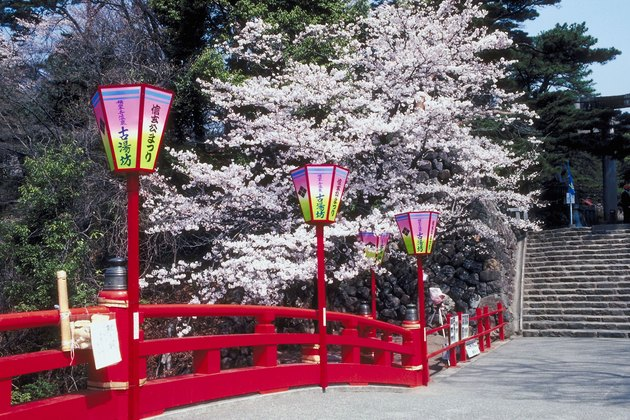 Cherry blossoms along walkway in Japan