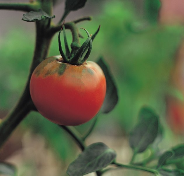 Tomato growing on vine