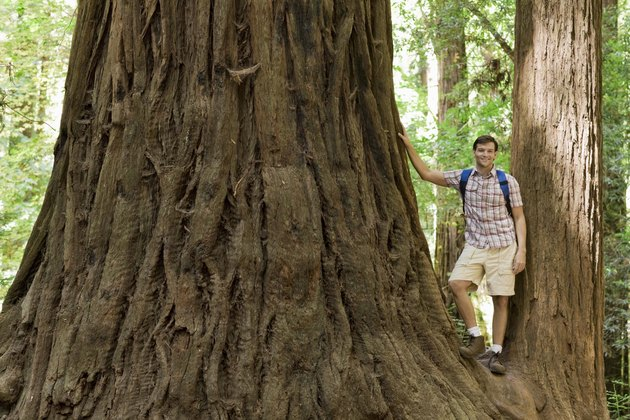 Man standing by trunk of redwood tree, Felton, California
