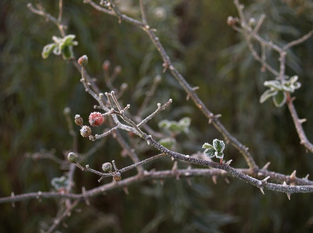 Autumn Berries: Frost-coated Hawthorn Berry Stem with Thorns (Craetagus)