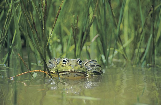 Bull Frog (Pyxicephalus adspersus), Nylsvley, South Africa