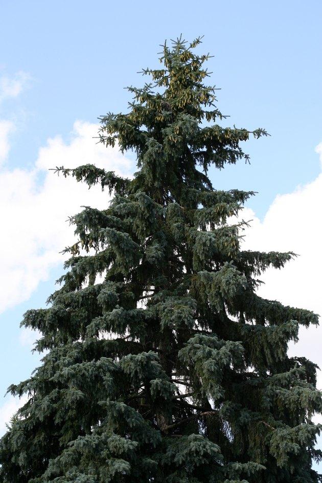Coniferous tree against blue sky