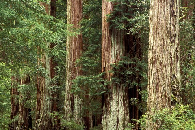 Redwood Trees  Big Basin Redwood State Park  California  USA