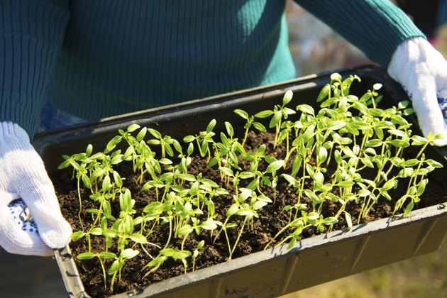 Young seedlings in a container