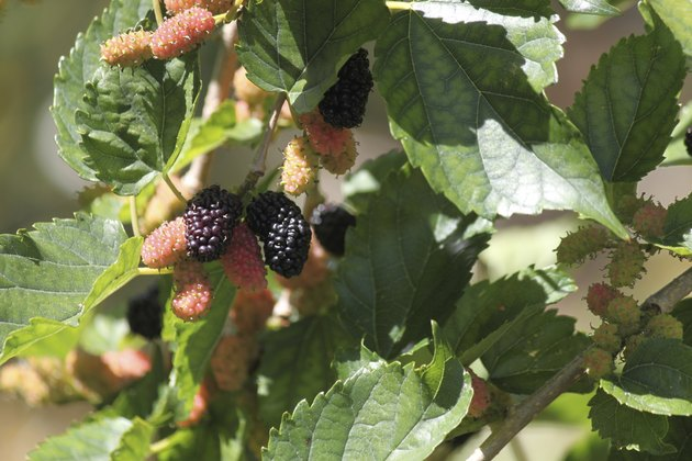 Mulberries on a mulberry tree