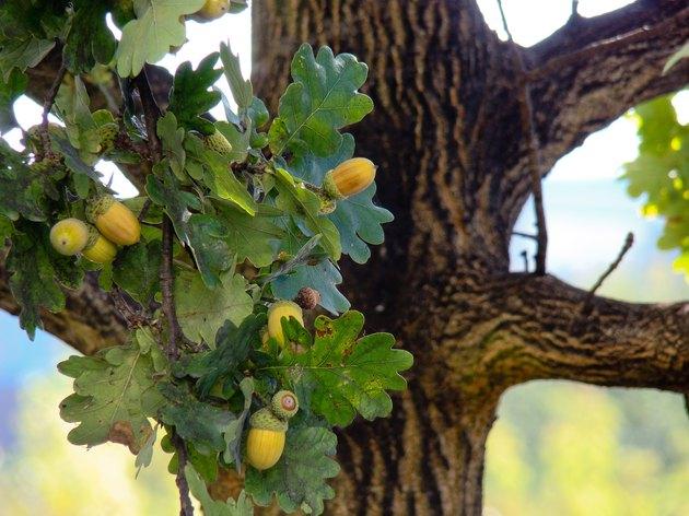 Eicheln am Baum