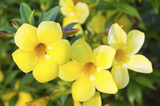 Golden trumpet flower