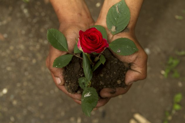 Single Red Rose on Hands