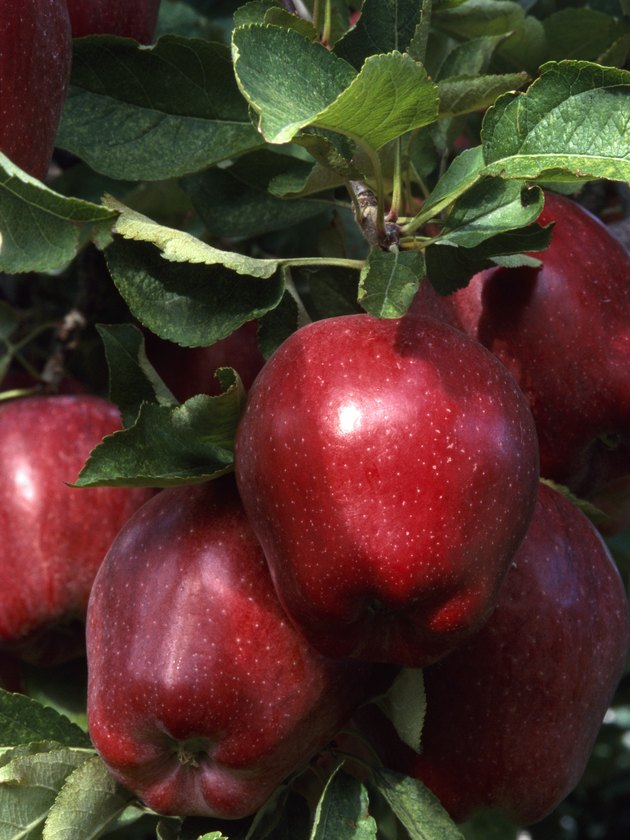 A close-up of red delicious apples on an apple tree