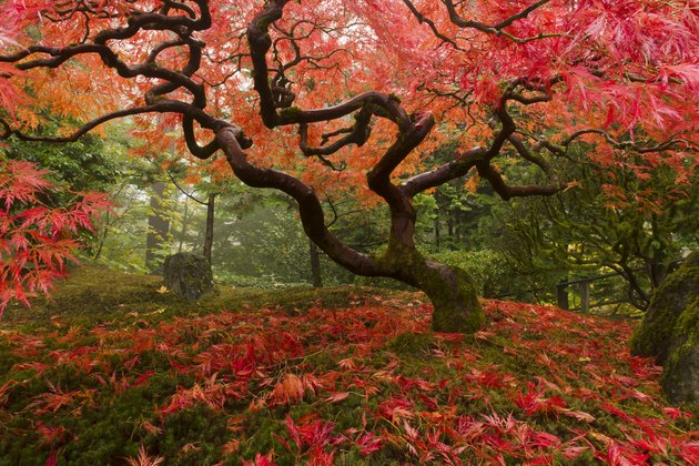 Japanese Maple with fall colors