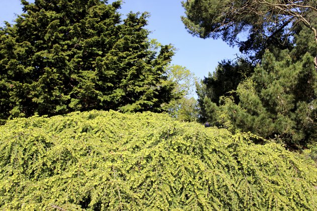 Image of rockery garden with dwarf conifers, including cypress trees