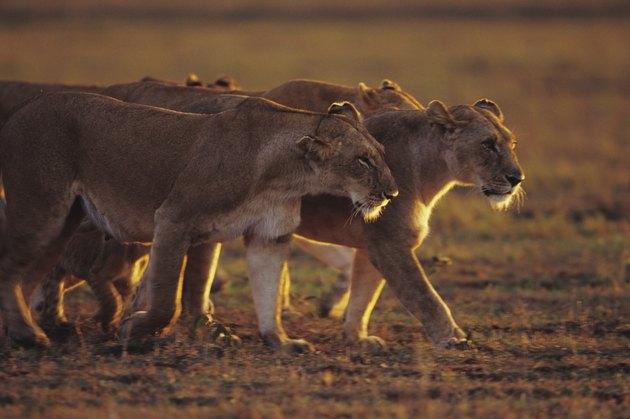 Group of lionesses (Panthera leo), standing on grass savannah, Kenya