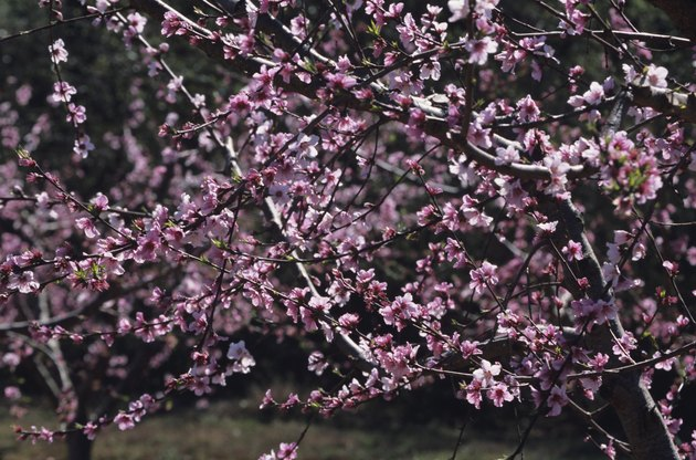 Flowering peach orchard in early spring