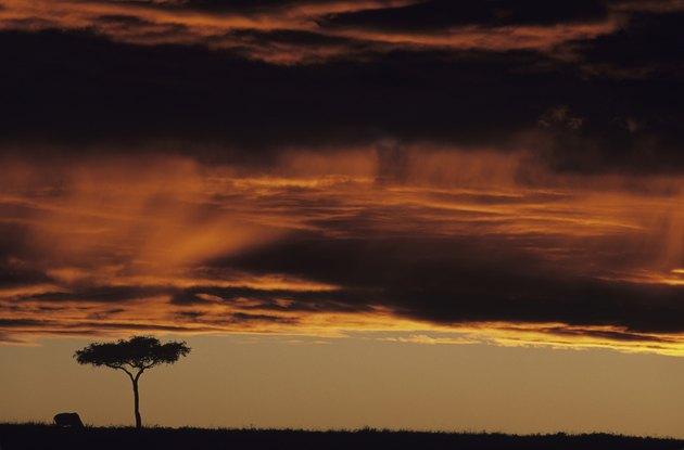 Clouds low over acacia tree on savannah, Masai Mara National Reserve, Kenya