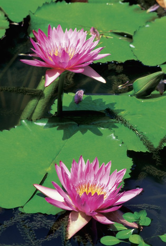 Close-up of two pink Water Lilies (Nymphaea), Waimea Falls Park, Oahu, Hawaii, USA