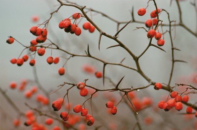 Red berries of buckthorn in Quebec, Canada