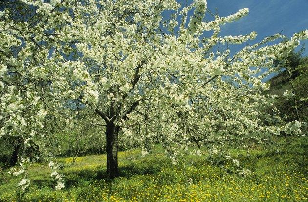 Cherry tree in bloom, Cyprus