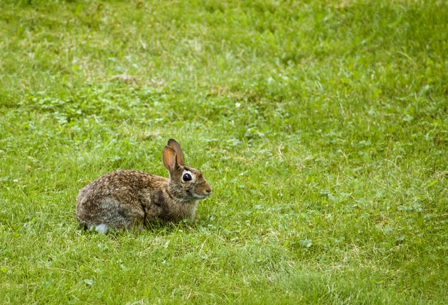 Bunny (Sylvilagus floridanus) in the Grass