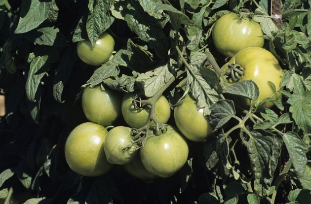 Green tomatoes on vine, Florida, USA