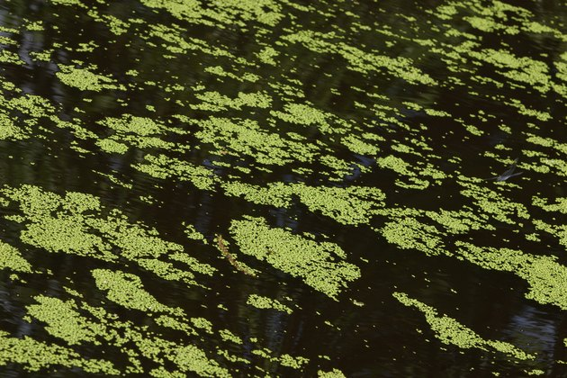Floating duckweed