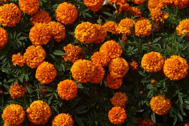 Blooming marigold flowers