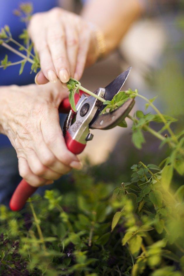 Hands pruning bush